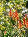 Rainbow lorikeet and Aloe sp inflorescences Arid Zone garden Brisbane Botanic Gardens Mt Coot-tha P1100031.jpg