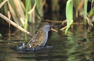 <i>Rallus</i> Genus of birds