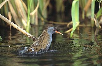 Rallus - Water rail Rallus aquaticus