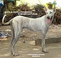 Ramanathapuram mandai sambal manthai indian dog breed mayilai.jpg