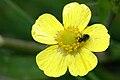 Ranunculus.flammula.-.lindsey.jpg