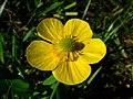 Ranunculus lingua 3.jpg