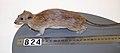 Rattus norvegicus (AM LM824-6).jpg