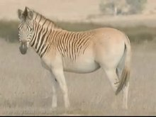 quagga project The quagga was a type of equine similar to the zebra, completely hunted to extinction in the 19th century, but through genetic science it is being recovered from the.