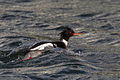 Red-breasted Merganser (Mergus serrator) (13667485025).jpg