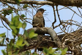 Red-chested cuckoo (Cuculus solitarius) female.jpg
