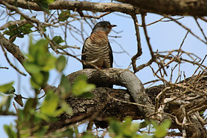 Red-chested cuckoo - A female in KwaZulu-Natal, South Africa