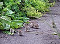 Red-legged partridge chicks - geograph.org.uk - 1035393.jpg