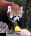 Red Panda Training with Lang Zar at Paradise Park Cornwall.jpg