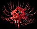 Red Spider Lily----Lycoris radiata.jpg