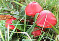 Red Waxcaps (15620396159).jpg