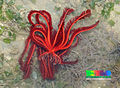 Red feather star (Himerometra robustipinna).jpg