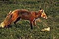 Red fox with prey sharpened levels.jpg