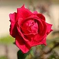 Red rose (2Q7A0054).jpg