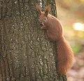 Red squirrel (explored) - Flickr - hedera.baltica (2).jpg