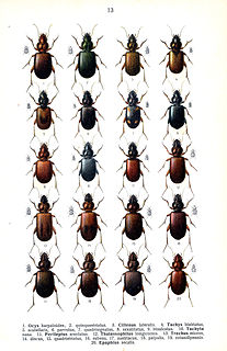 Trechinae subfamily of insects