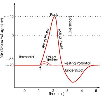 Relabeled action potential.jpg
