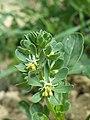 Reseda phyteuma sl77.jpg