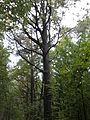 Rezerwat przyrody Dęby w Meszczach 12.08.jpg