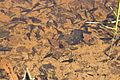 Rhacophorus arboreus 02.jpg
