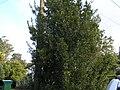 Rhamnus alaternus alaternus L. (AM AK305108-2).jpg