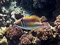 Rhinecanthus assasi - Rotmeer-Picassodrueckerfisch 0534.jpg