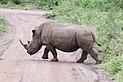 Rhinoceros in Hluhluwe–Imfolozi Park 01.jpg
