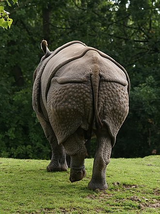 Indian rhinoceros - Wart-like bumps on the hind legs.