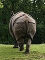 Rhinoceros unicornis (posterior).jpg