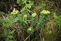 Rhodiola rosea (48036943601).jpg