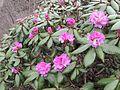 Rhododendron aeruginosum AJTJ DSCN6802.jpg
