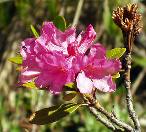 Flora of the Alps - Rusty-leaved Alpenrose, (Rhododendron ferrugineum)