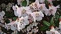 Rhododendron moupinense (1).jpg