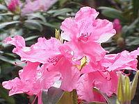 Rhododendron williamsianum0