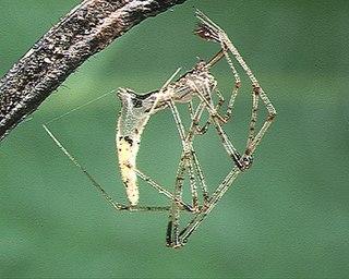 <i>Rhomphaea</i> Genus of spiders