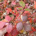 Rhus aromatica foliage catkins.jpg