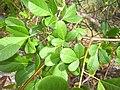 Rhus longipes-leafs.jpg