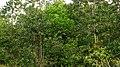 Richeria grandis Vahl (3579509294).jpg