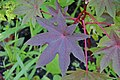 Ricinus communis in Jardin botanique de la Charme.jpg