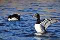 Ring-necked Ducks on Seedskadee National Wildlife Refuge (26148450971).jpg