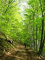 Road going through a beech grove somewhere in the Shipka mountains... - panoramio.jpg