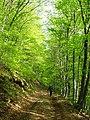 Road going through a beech grove somewhere in the Shipka mountains... - panoramio.jpg