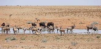 Mokala National Park - Image: Roan Antilopes with Buffaloes, Zebras and one Eland at water hole ... (30033578573)