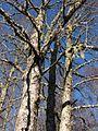 Robles en otoño (Nothofagus obliqua) por Pato Novoa.jpg