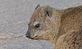 Rock Hyrax (Procavia capensis) (6437293107).jpg