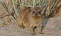 Rock Hyrax (Procavia capensis) (6437296321).jpg