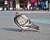 Rock dove (Columba livia) standing on place de la Bourse, Brussels, Belgium (DSCF4428).jpg