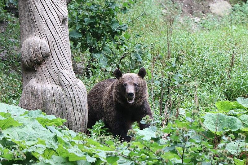 Ursos pardos Romênia