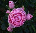 Rosa 'Hans Gonewein Rose' (2).jpg
