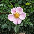 Rosa 'Pea Haag' (actm) 01.jpg